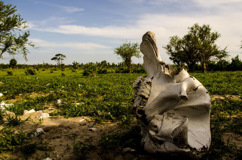 Son sorprenents els cranis dels elefants, Possiblement és de les poques coses que no es menja ningú de manera que de tant en tant es veu com un crani d'un blanc impol.lut sobresurt entre les herbetes que intenten sobreviure.