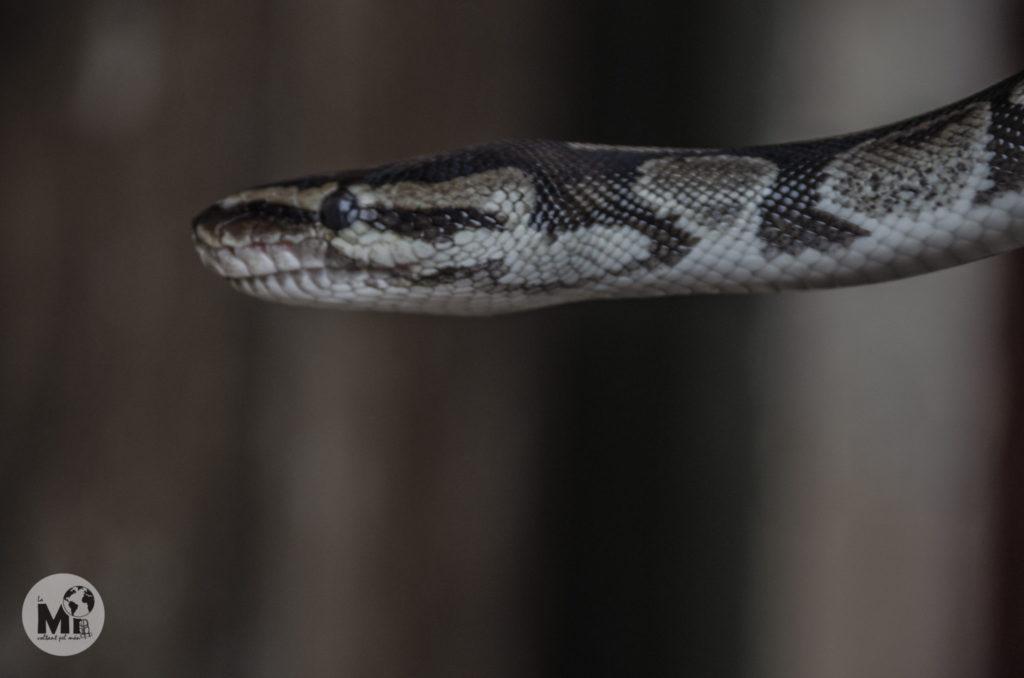 La espècie de piton és la coneguda com a reticulada o Python regius (nom científic), com totes les pitons no és verinosa, tot i que pot arribar a ser prou gran. No es tracta d'una espècie en extinció.
